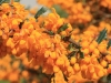 berberis-gc