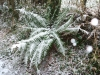 frosted-fern