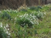 no-snow-snowdrops-cc
