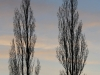 winter-poplars