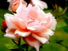 pink-rose-and-bud