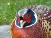 friendly-pheasant-bv