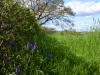 bluebell-hedge