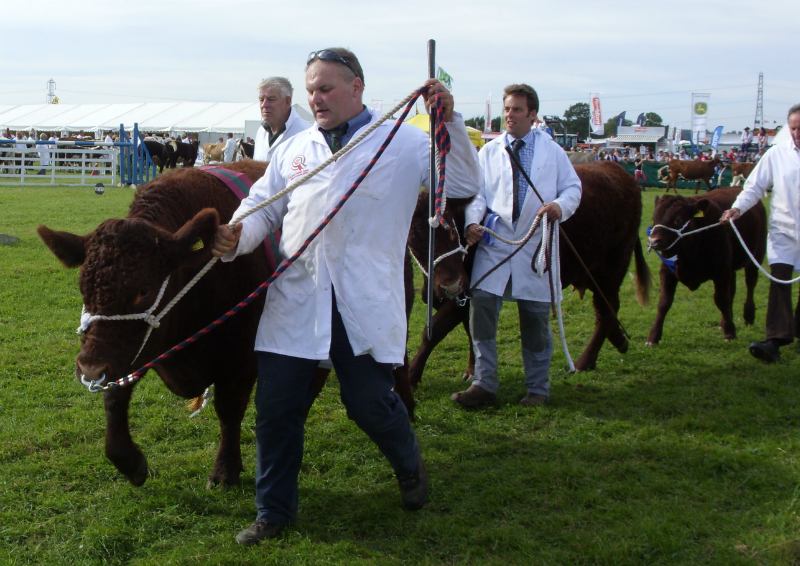 cattle-parade-3