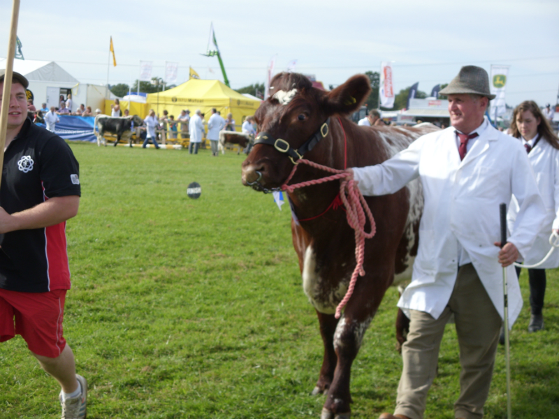 cattle-parade-6
