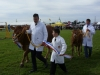 cattle-parade-2